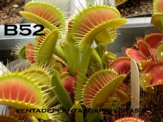 dionaea b52 planta