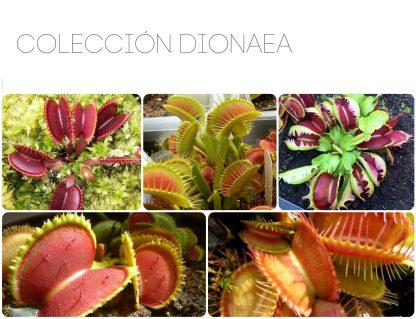 coleccion dionaea