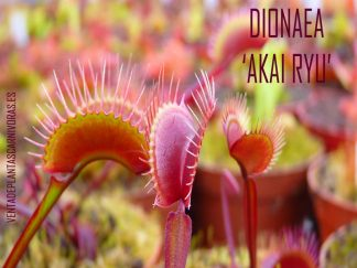 dionaea akai ryu red dragon