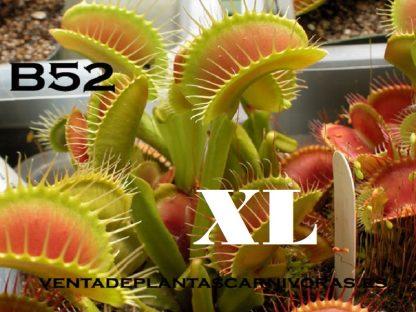 dionaea b52 xl planta