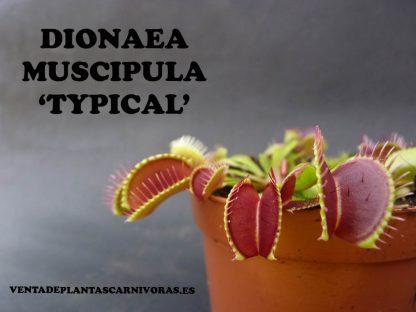 dionaea muscipula typical planta