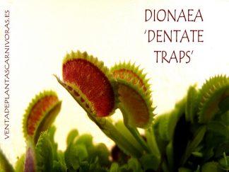 dionaea dentate traps