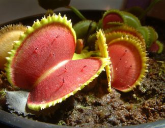 dionaea bristle tooth
