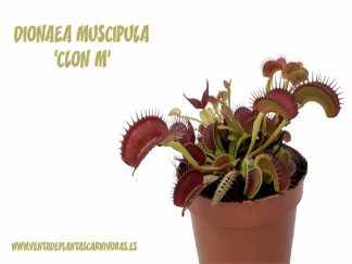 planta carnivora dionaea clon M