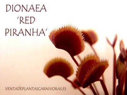 planta carnivora dionaea red piranha