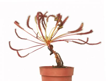 drosera capensis giant