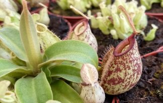 nepenthes x hookeriana planta