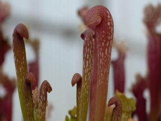 sarracenia minor okefenokensis