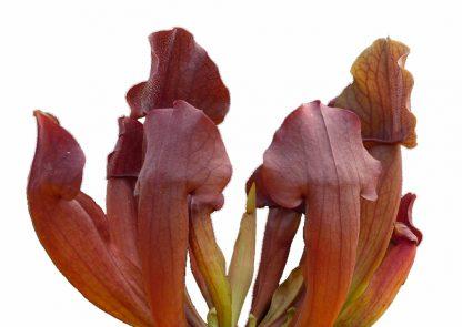 sarracenia purpurea hibrido