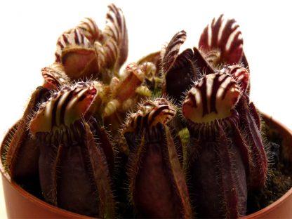 cephalotus sanguino