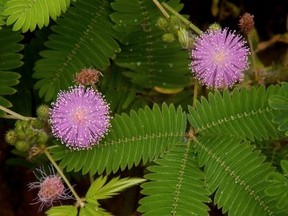 mimosa pudica semillas
