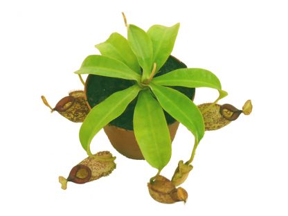 nepenthes x hookeriana maceta 2