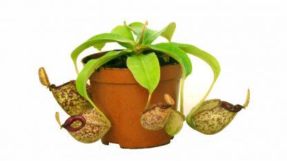 nepenthes x hookeriana maceta 3